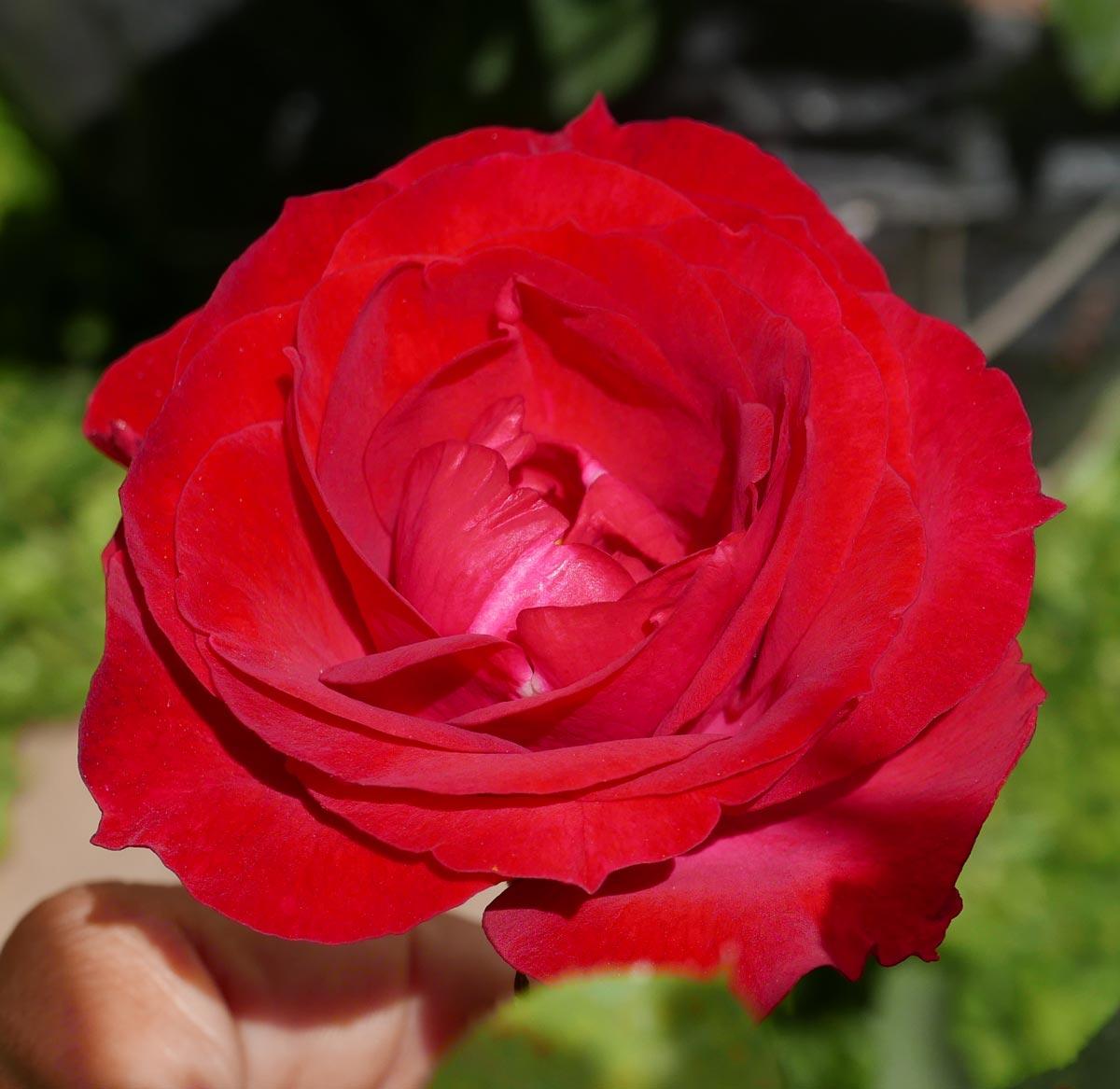Rose in Juayua, Ruta de Flores, San Salvador