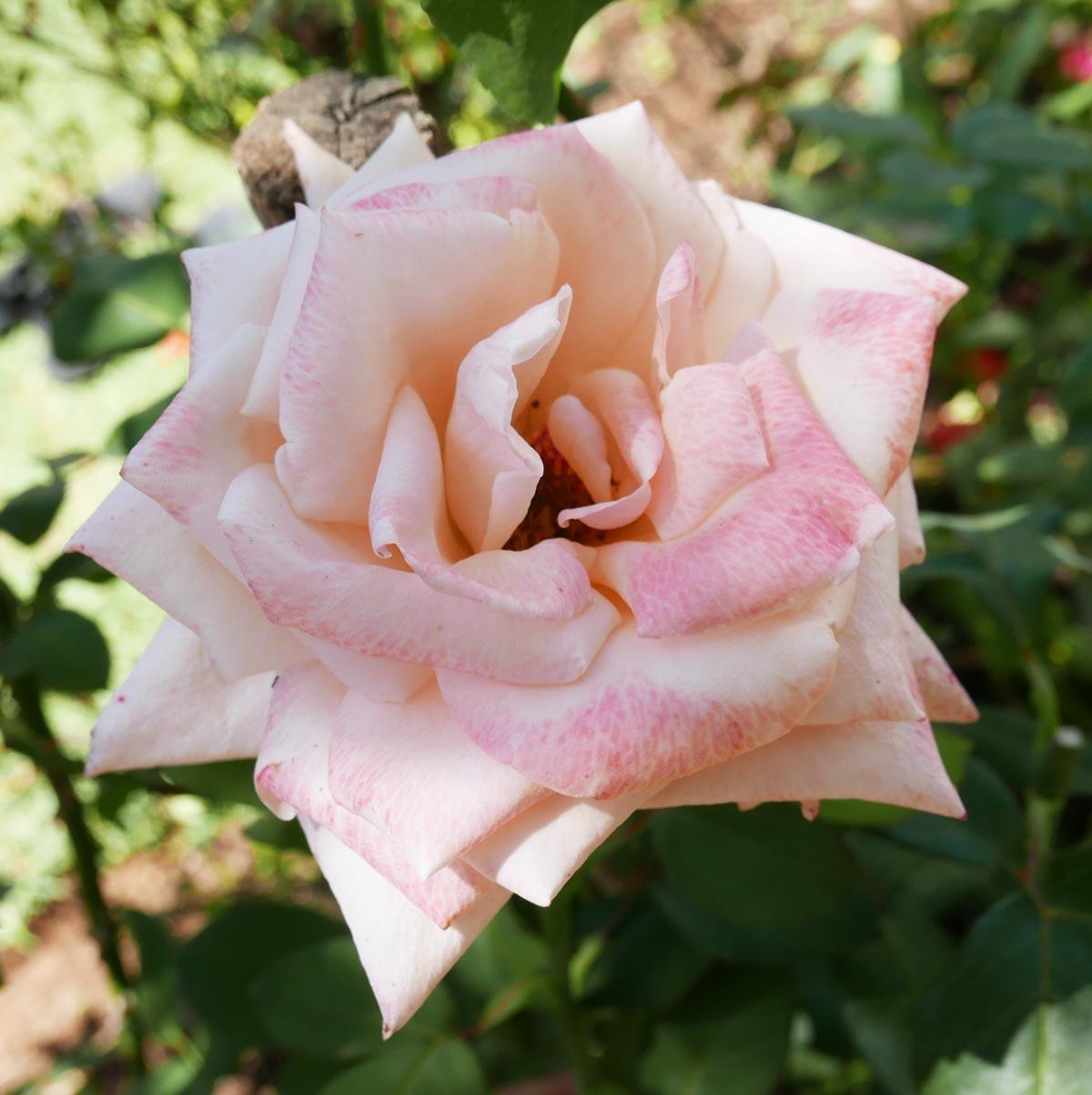 White rose in Juayua
