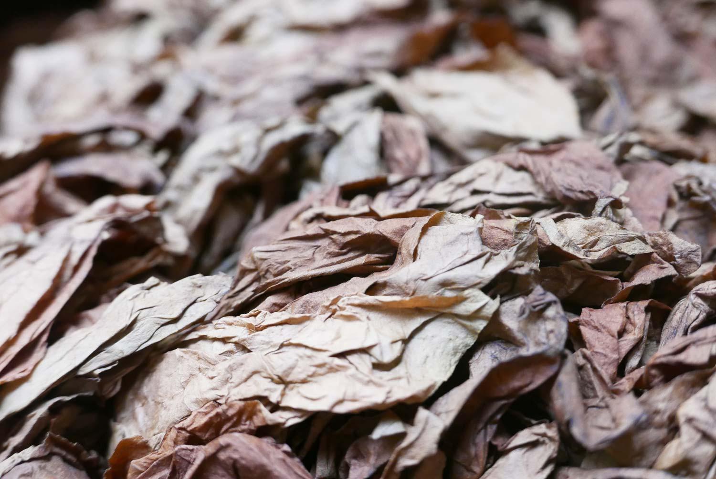Dry tobacco leaves in a cigar factory in Esteli, Nicaragua