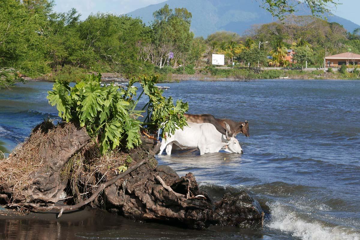 Deer taking a bath in San Jose del Sur on Ometepe island in Nicaragua