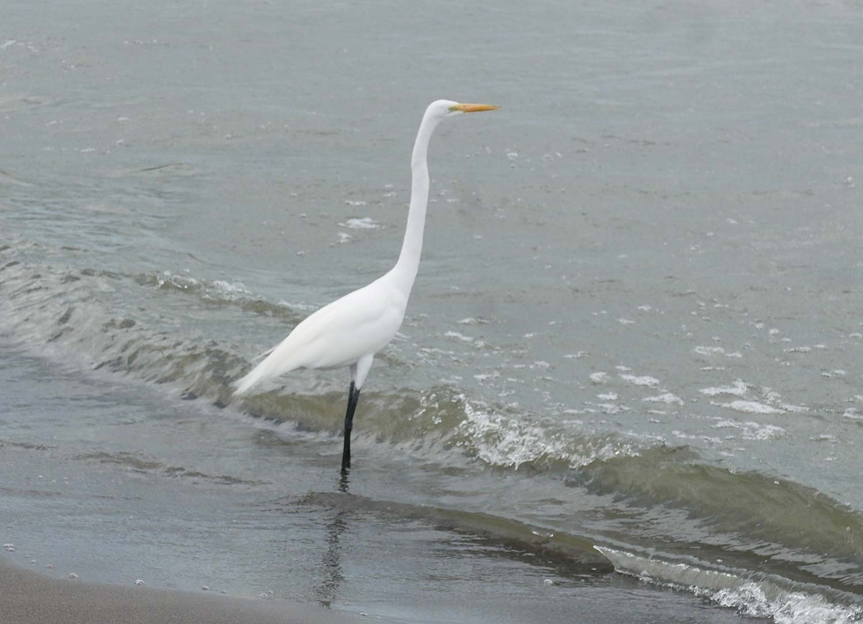 Bird on San Fernando beach on Ometepe island in Nicaragua