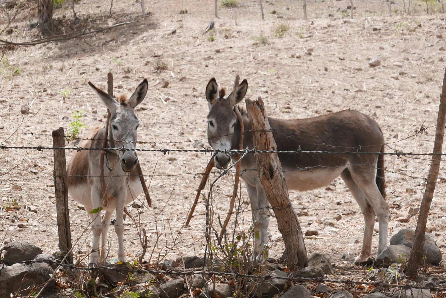 Two donkeys in the valley before entering the rear of Somoto canyon