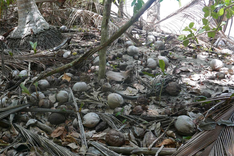 Coconuts in Manuel Antonio national park