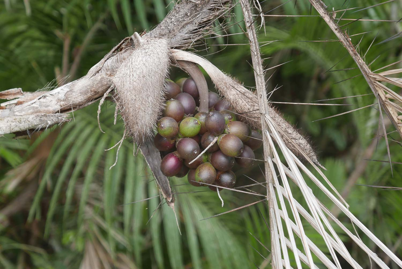 Fruits in Manuel Antonio national park