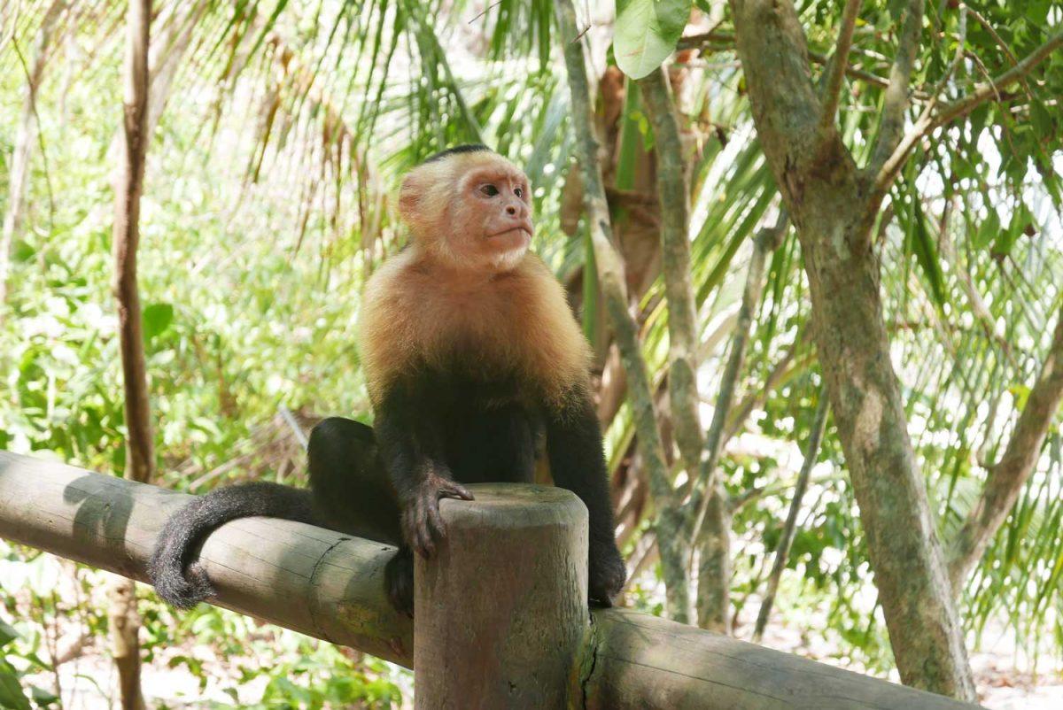 Monkey near Punta Cathedral part of Manuel Antonio national park