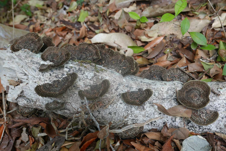 Mushrooms probably, growing on trees in Manuel Antonio national park