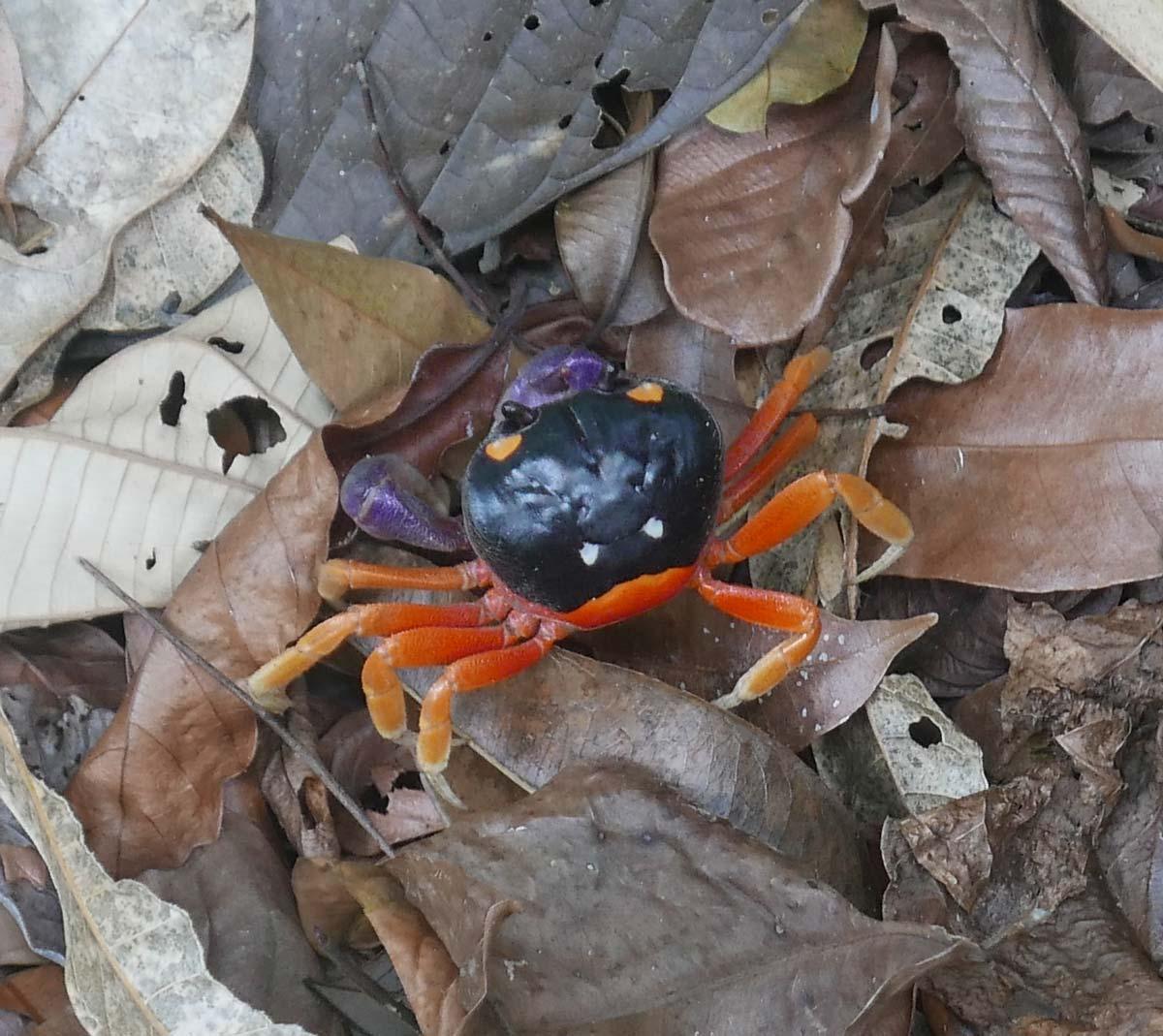 Sea crab in Manuel Antonio national park