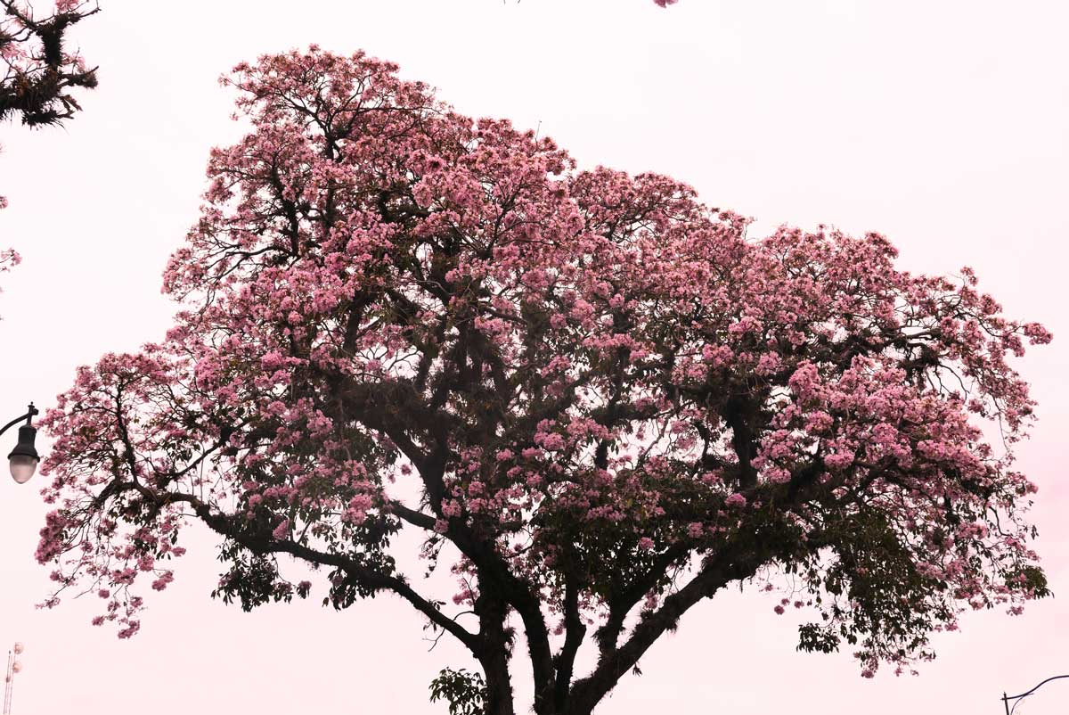 Amazing tree towards La Sabana park in San Jose, Costa Rica