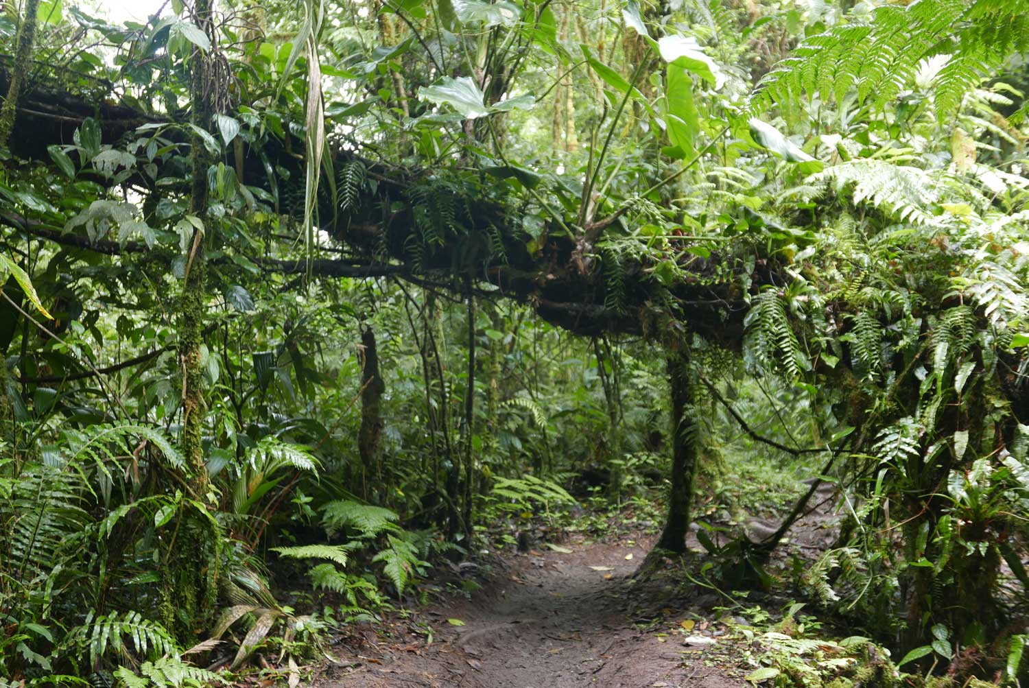 Trees everywhere along and across the pathway in Santa Elena cloud forest