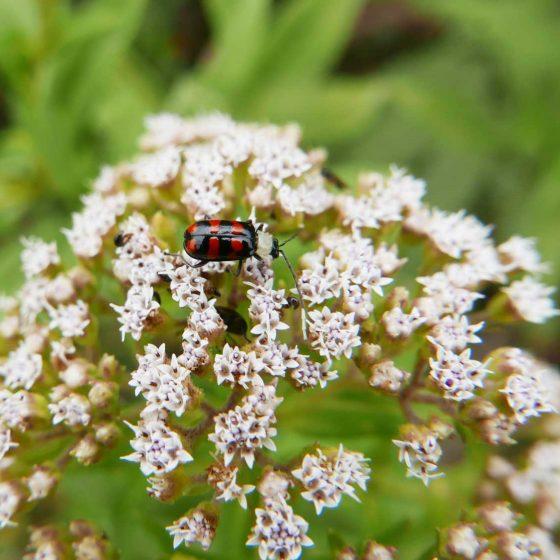 Ladybug in Santa Elena village in Costa Rica