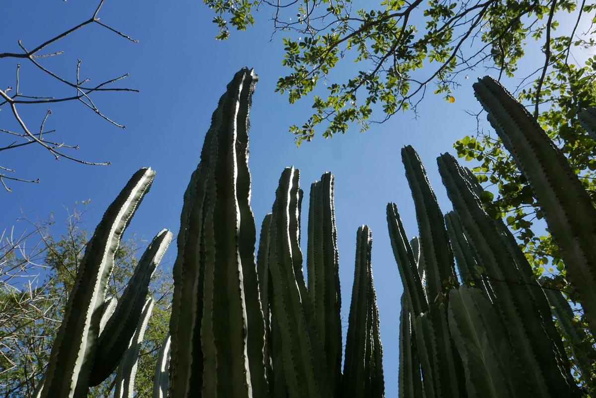Cactus in the Botanical garden in Oaxaca city